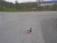 lonely duck in Tromsø